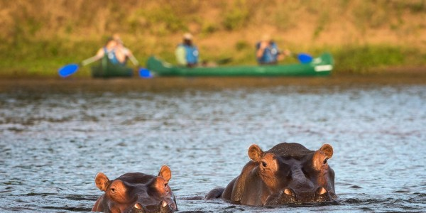 Zimbabwe - Mana Pools National Park - Ruckomechi Camp - Hippo