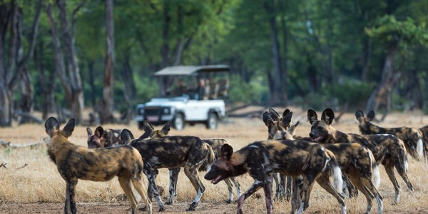 Zimbabwe - Mana Pools National Park - Ruckomechi Camp - Wild Dogs
