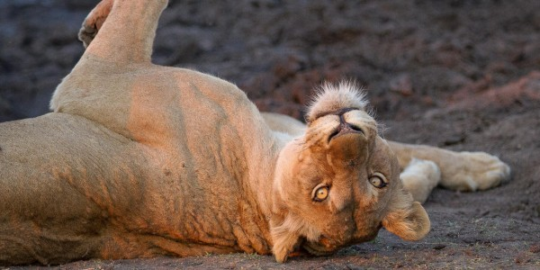 South Africa - Kruger National Park & Private Game Reserves - Londolozi Varty Camp - Lion