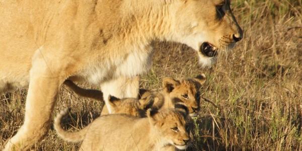 South Africa - Kwazulu Natal - Phinda Rock Lodge - Lion