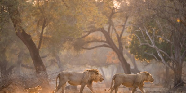 Zimbabwe - Mana Pools National Park - Chikwenya - Lion