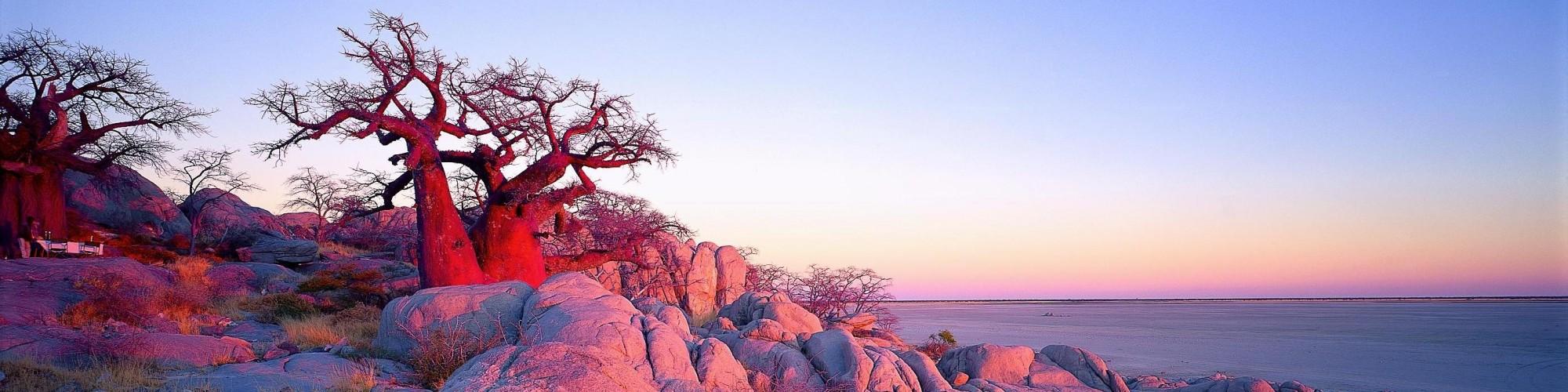 Stunted pink baobab, Botswana
