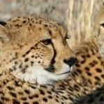Africa – Botswana – Cheetah – Chitabe's cats