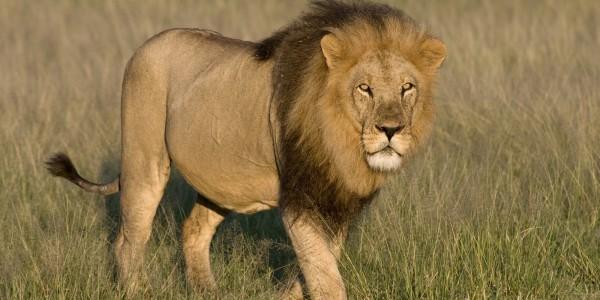 Africa - Botswana - Lion