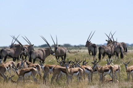 Africa - Botswana - Wildlife - Antilopes