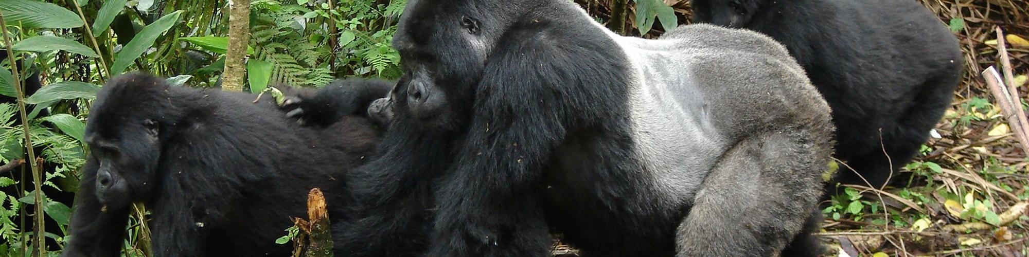 Bwindi Impenetrable Forest, Uganda(3)