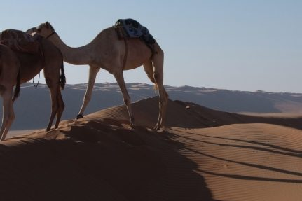 Desert Nights Camp - Al Wasil, Oman_Camel Safari
