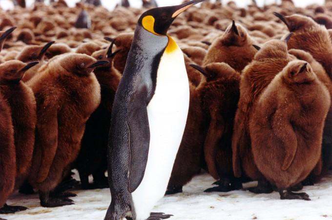 Falklands - King penguin