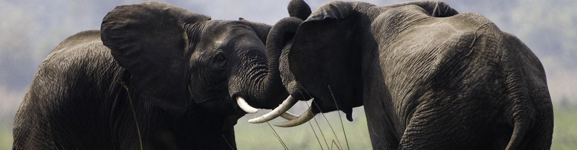 Young elephants playful challenge