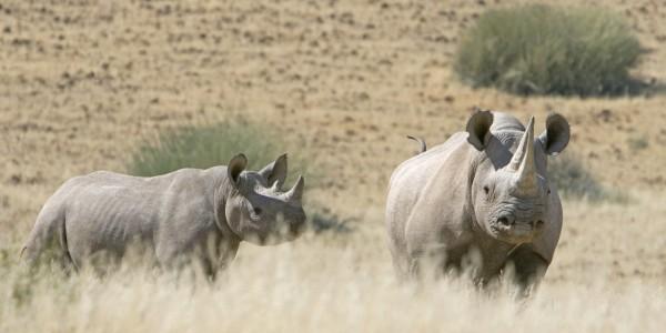 Palmwag rhino