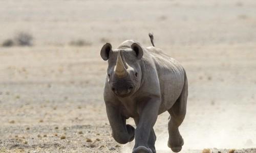 Rhino in Damaraland
