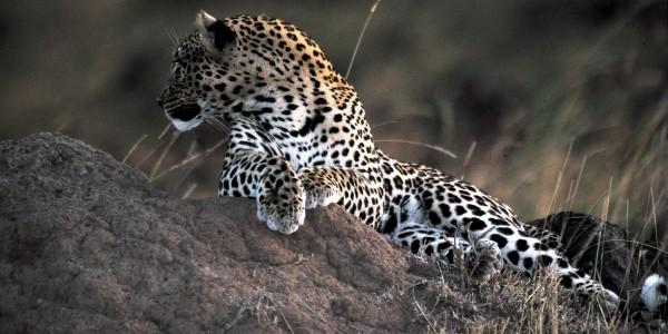 leopard-loisaba
