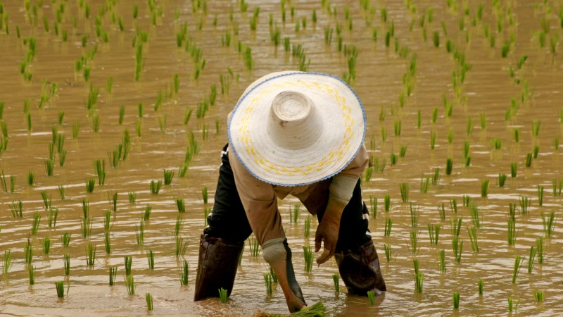 thai_rice_farmer[1]