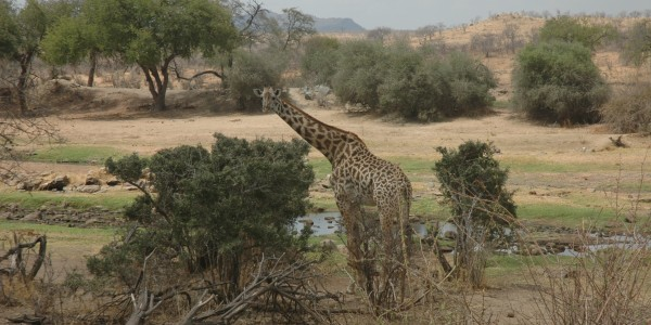 DSC_1513 Giraffe