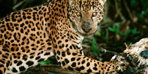 Jaguar in Madidi National Park