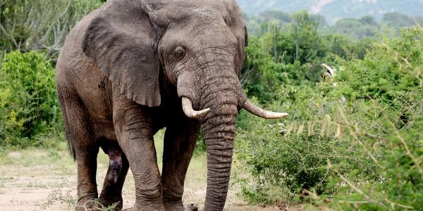UG QENP - Kayambura, Elefant_0119