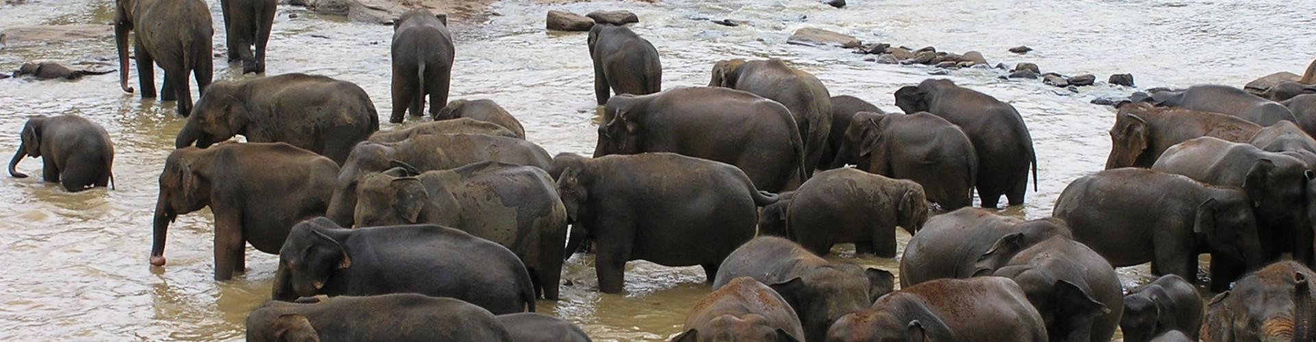 Elephants bathing, Sri Lanka