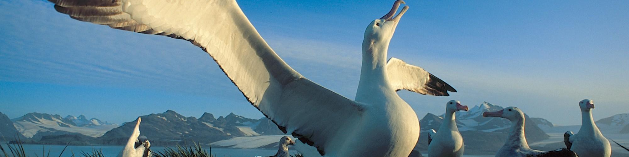 AN - South Georgia - Oceanwide - Albatrosses by Rinie van Meurs