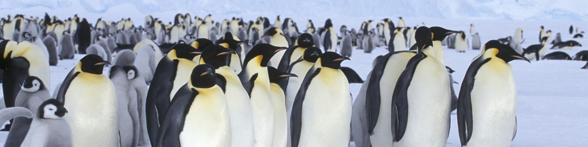 Antarctica - Kaiserpinguin / Apdenodytes forsteri