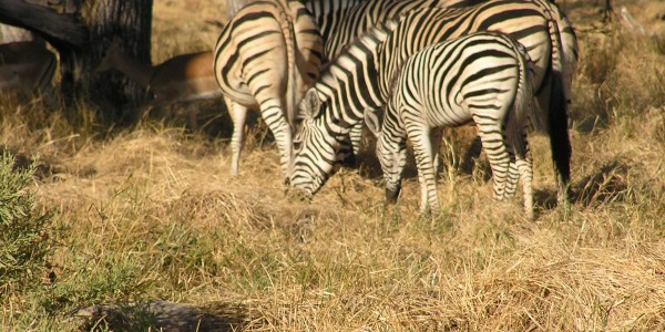 Africa - Zebra