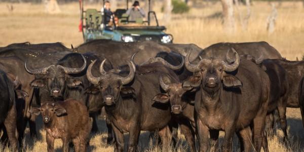 Zimbabwe - Hwange National Park - Linkwasha Camp - Buffalo