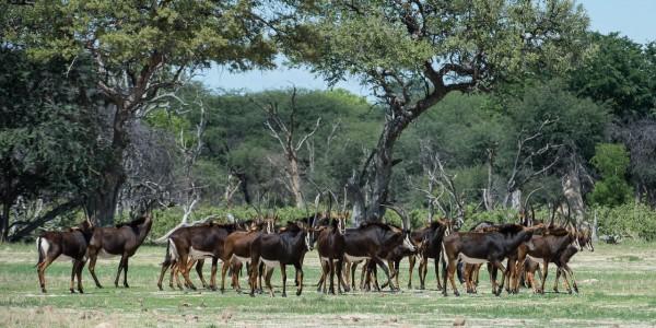 Zimbabwe - Hwange National Park - Linkwasha Camp - Sable