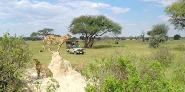 Zimbabwe - Hwange National Park - The Hide - Cheetah