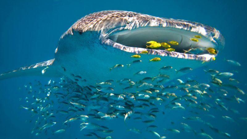 Whale Shark, Ningaloo Reef, WA